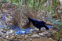 bowerbird-6