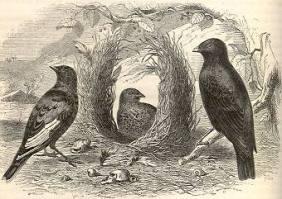 bowerbird 8